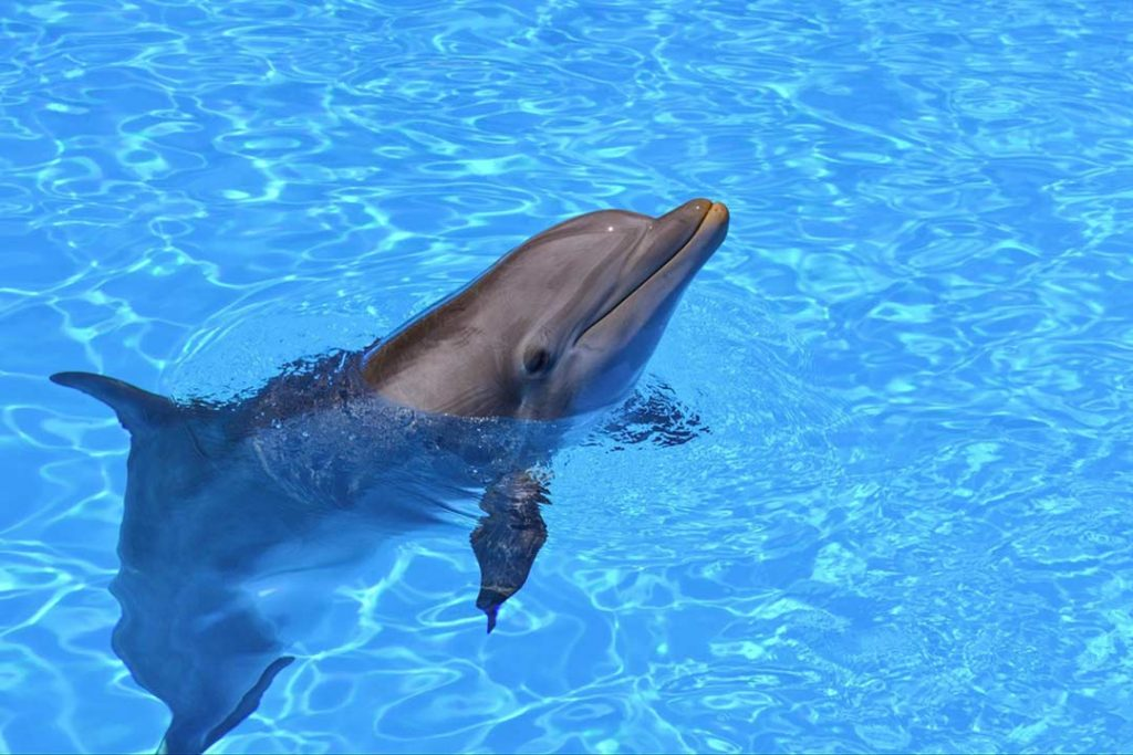 Phone of a bottlenose dolphin in a pool