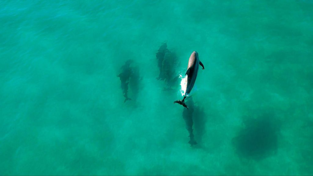 Aerial view of bottlenose dolphins at Shell Island