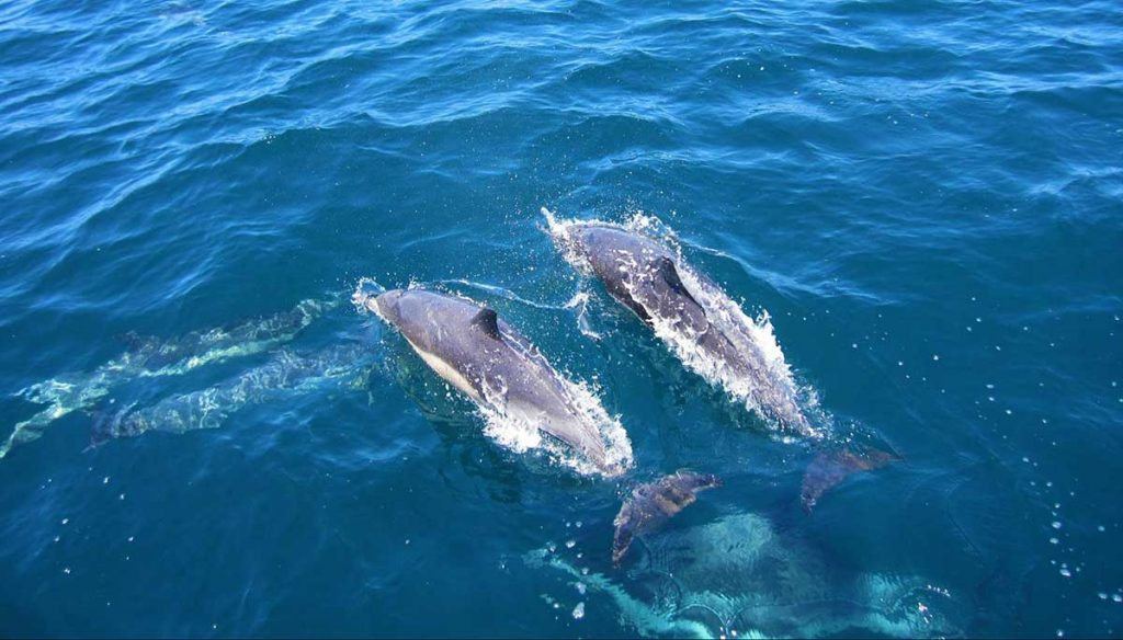 Aerial view of bottlenose dolphins in the deep blue sea