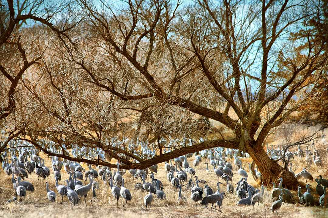 Image of cranes in Nebraska. There are dozens on the hay grass under the bare trees.