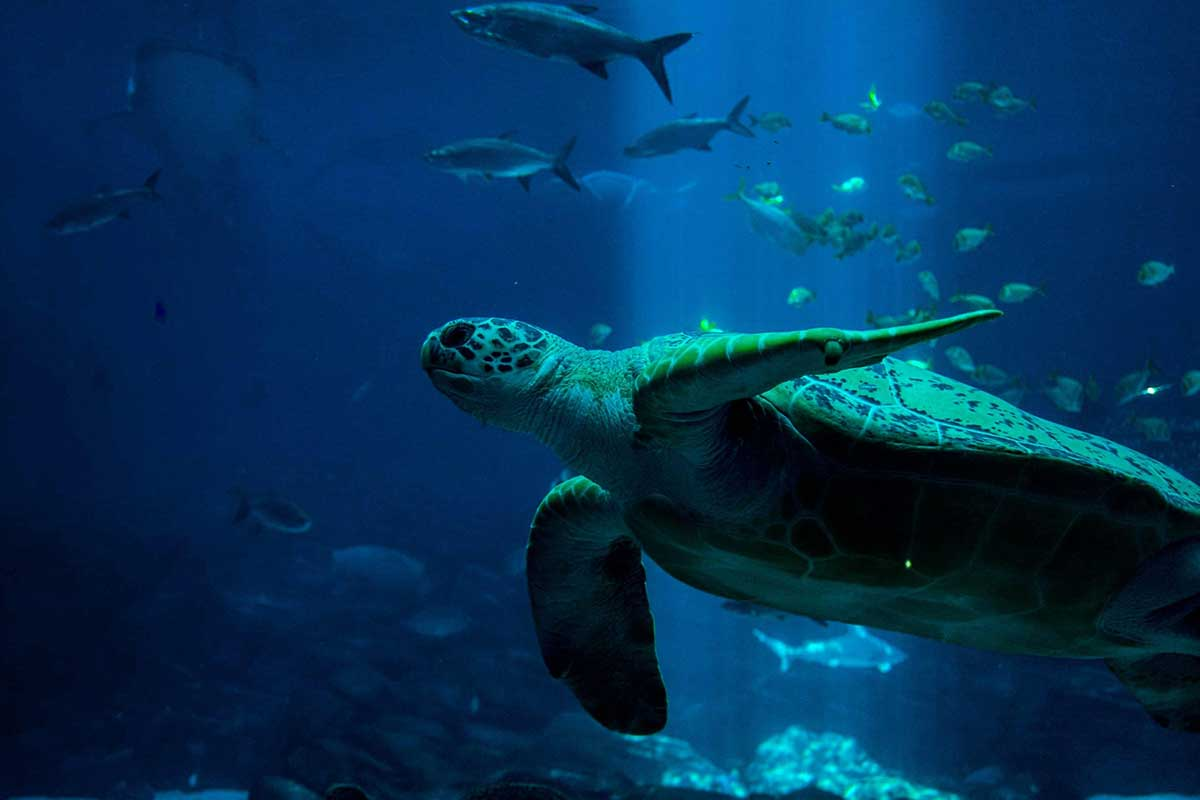 Image of a sea turtle swimming with other fish in the sea